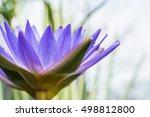 beautiful purple water lily
