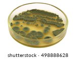 Small photo of Green colonies of allergenic fungus Penicillium from air spores on a petri dish (agar plate) manually isolated on a white background. This microbe is an antibacterial antibiotic penicillin producer.