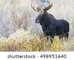 Young Bull Moose In Willows On...