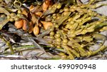 Close Up Of Rockweed  Also...