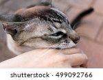affectionate tabby cat   Shutterstock . vector #499092766