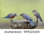 Bluebirds Gathered Around Bird...