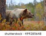 Detail Portrait Of Brown Bear...