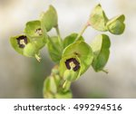 Thompson\'s Spurge   Euphorbia...