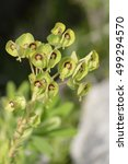 Thompson\'s Spurge   Euphorbia...
