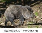 collared peccary  pecari tajacu  | Shutterstock . vector #499295578