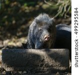 collared peccary  pecari tajacu  | Shutterstock . vector #499295584