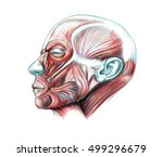 muscles of head  hand drawn... | Shutterstock . vector #499296679