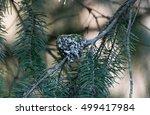 Anna's Hummingbird Nest Close Up