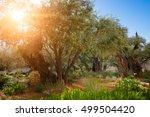 Gethsemane Olive Orchard....