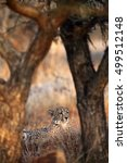 Small photo of The cheetah (Acinonyx jubatus), also known as the hunting leopard lying under trees