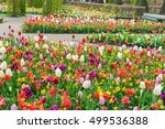 colourful tulips flowerbeds in... | Shutterstock . vector #499536388