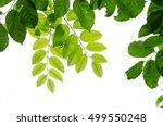 tree leaf frame on white... | Shutterstock . vector #499550248