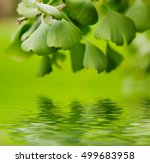 green leaves of gingko biloba   ... | Shutterstock . vector #499683958