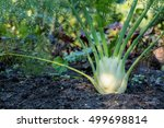 Fennel Plant Growing In The...