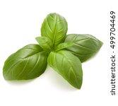 sweet basil herb leaves...   Shutterstock . vector #499704469