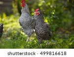 rooster and hens on a... | Shutterstock . vector #499816618