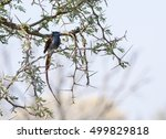 Small photo of African Paradise Flycatcher (Terpsiphone viridis) in Tree in South Africa