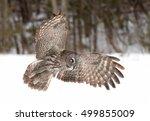 A Lone Great Grey Owl  Strix...