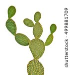 opuntia cactus isolated on... | Shutterstock . vector #499881709