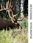 Small photo of Wild Antlered bull Elk or Wapiti (Cervus canadensis) grazing in the wildgrass and wildflowers, Banff National Park Alberta Canada