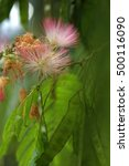 Small photo of Silk tree mimosa (Albizia julibrissin) flowering plant with pink white hairy flowers closeup with young green hanging legumes