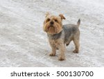Cute Norfolk Terrier Standing...