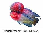 Flowerhorn Crossbreed Cichlid...