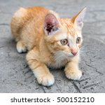 little cute golden brown kitten ... | Shutterstock . vector #500152210