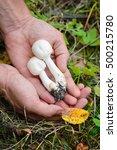 field mushrooms  agaricus... | Shutterstock . vector #500215780