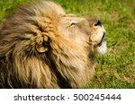 lion head closeup kruger... | Shutterstock . vector #500245444