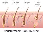 human head hair growth cycle.... | Shutterstock .eps vector #500460820