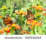 Monarch Butterflies On A...