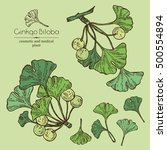 collection of ginkgo  ginkgo... | Shutterstock .eps vector #500554894