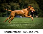 Stock photo running dog running magyar dog running vizsla 500555896