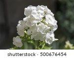 Phlox Paniculata  Fall Phlox ...