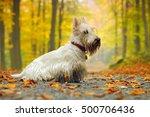 White Scottish Terrier  Sitting ...
