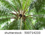 seed on top side of old palm... | Shutterstock . vector #500714233