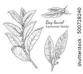 ink bay laurel herbal... | Shutterstock .eps vector #500728240