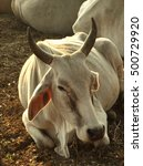 Small photo of White cows are sleeping on the ground, agriculturist and livestock