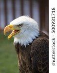 beautiful north american bald... | Shutterstock . vector #500931718