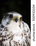 portrait of a common kestrel... | Shutterstock . vector #500933104