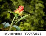 green praying mantis  mantis... | Shutterstock . vector #500972818