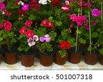Colorful Blooming Geranium...