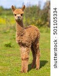 Small photo of Baby Alpaca or Cria standing in a field