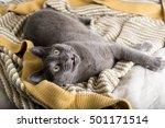 close up of a gray cat relaxing ... | Shutterstock . vector #501171514