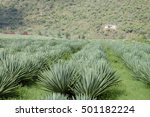 Sisal Fibre Plantation  ...
