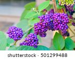 Small photo of American Beautyberry or Purple Berries (Callicarpa americana)
