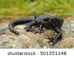 Small photo of Lanza Alpine Salamander (Salamandra lanzai). Macro, portrait on a rock, grass background. Monviso, Alps, Italy.