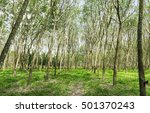 row of rubber tree in mid day... | Shutterstock . vector #501370243